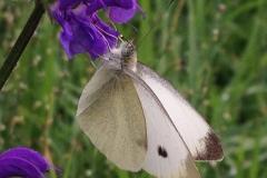 farfalla su viola