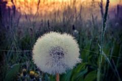 soffione tramonto fiore
