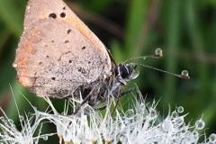 dettaglio insetto soffione