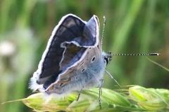coleottero azzurro grigio