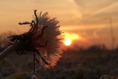 tramonto fiore