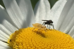 zanzara pappatacio su margherita