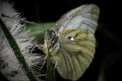 farfalla kaptura