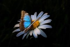 farfalla sopra margherita