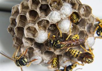nido di vespe con larve al'interno