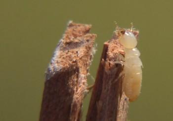 Workertermite1