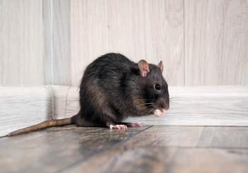 Topi e ratti, un grande rischio per la nostra salute e per il nostro portafoglio