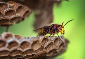 Le 10 cose da NON fare con calabroni e vespe