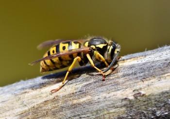 Vespe e calabroni: come tenerli a distanza di sicurezza