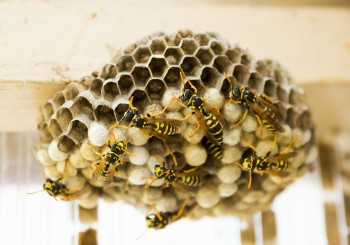 Infestazioni vespe in autunno_Kaptura